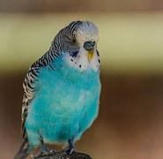 blue-parakeet-204698__180