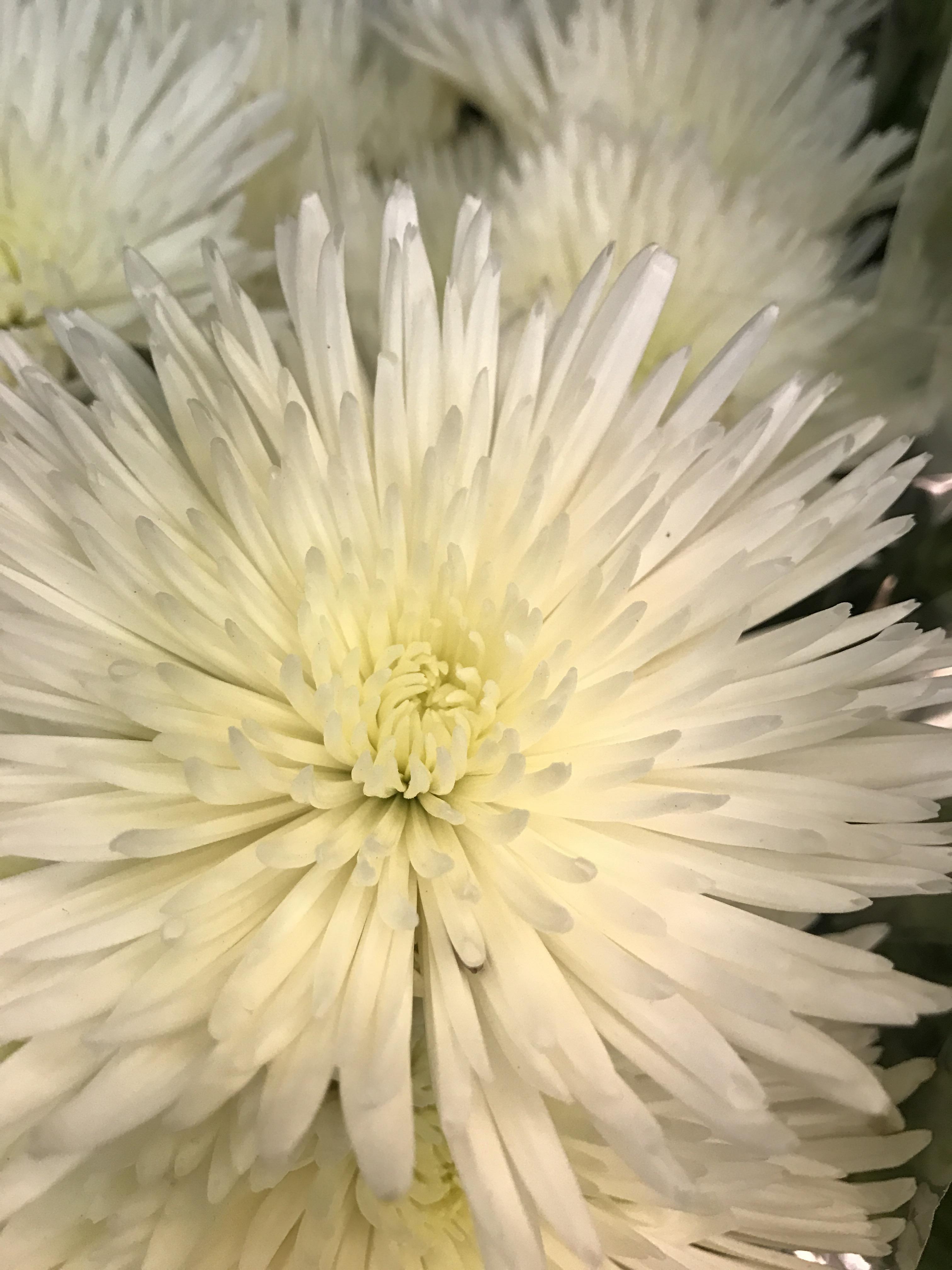 White Flower Teleportingweena