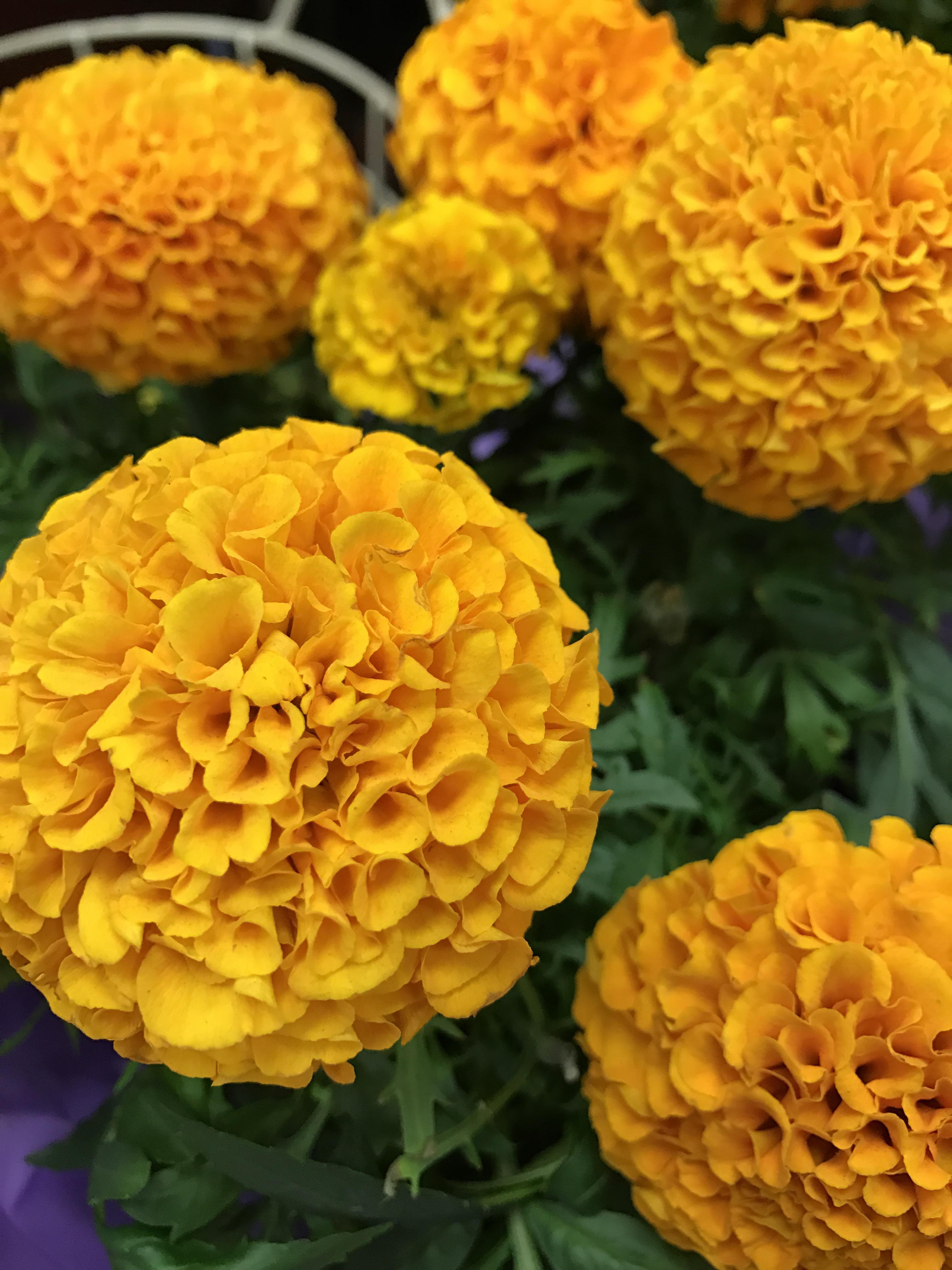 The Marigold Tarot Major Arcana The: Flower Of The Day – Marigold