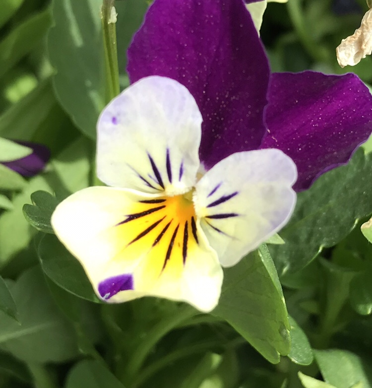 Flower Of The Day Viola Or Pansy Teleportingweena