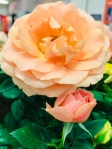 Flower of the Day – Peach Colored Rose